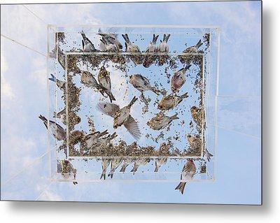 Redpols And Blue Skies Metal Print by Tim Grams