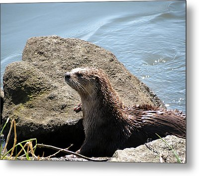 River Otter Sunning By The Lake Metal Print by Gayle Swigart