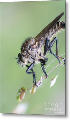 Robber Fly Asilinae Close Up Metal Print by Jivko Nakev