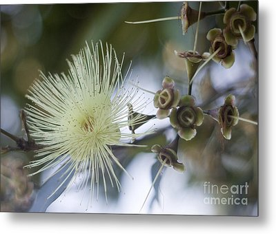 Rose Apple Blossom Metal Print