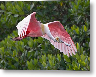 Roseate Spoonbill Flyer Metal Print by Phil Stone