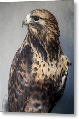 Rough-legged Hawk Metal Print by Paulette Thomas