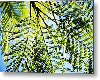 Royal Poinciana Tree Metal Print by Charmian Vistaunet