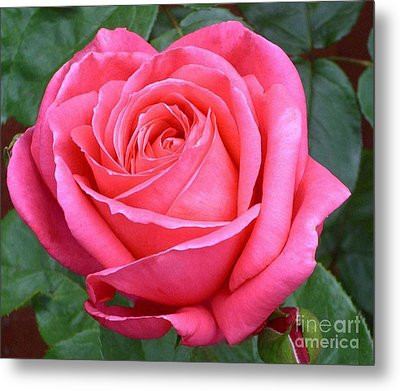 Royale Magenta Rose Metal Print