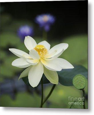 Sacred Lotus  Metal Print by Tim Gainey