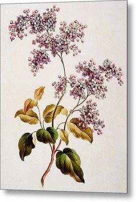 Scotch Lilac, Published 1793 Metal Print by John Edwards