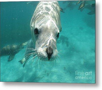Sea Lion Metal Print by Crystal Beckmann