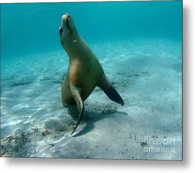 Sea Lion Play Time Metal Print by Crystal Beckmann