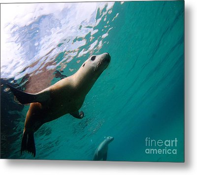 Sea Lion Under Lights Metal Print by Crystal Beckmann