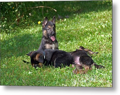 Shepherd Pups 20 Metal Print by Aimee L Maher Photography and Art Visit ALMGallerydotcom