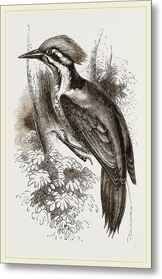 Shores Woodpecker Metal Print by Litz Collection