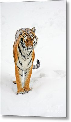Siberian Tiger Animal Metal Print by Boon Mee