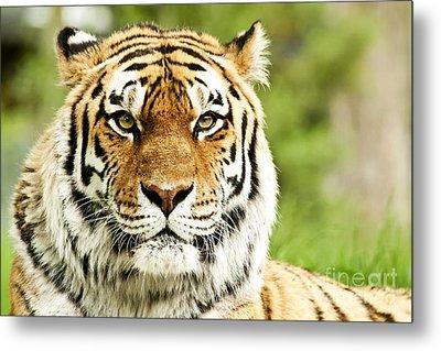 Siberian Tiger Beautiful Closeup Metal Print by Boon Mee