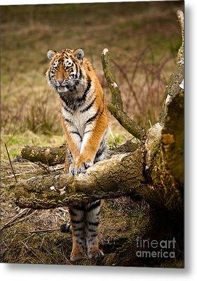 Siberian Tiger Metal Print by Boon Mee