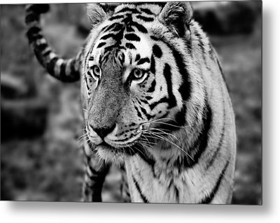 Siberian Tiger Monochrome Metal Print by Semmick Photo