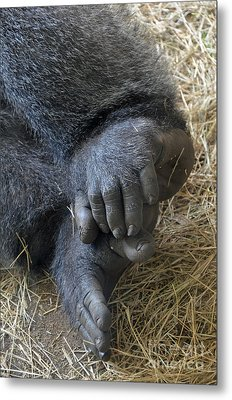 Metal Print featuring the photograph Silverback Toes by Robert Meanor