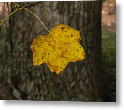 Metal Print featuring the photograph Single Poplar Leaf by Nick Kirby