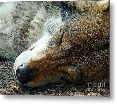 Sleeping Wolf Metal Print by Maja Sokolowska