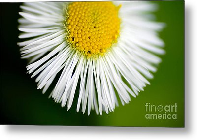 Small Daisy Macro Metal Print by Amy Cicconi