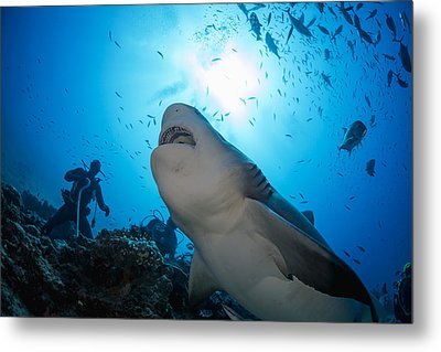 Snacking Bull Shark Metal Print by Dave Fleetham