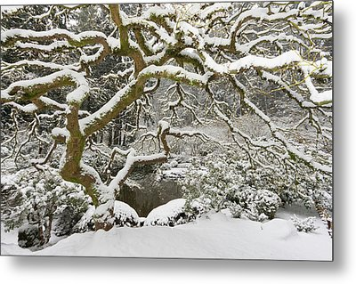 Snow-covered Japanese Maple, Portland Metal Print by William Sutton