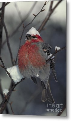 Snow Covered Pine Grosbeak Metal Print by Stephen J Krasemann