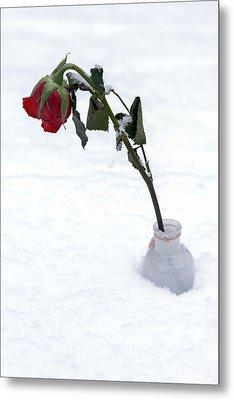 Snow-covered Rose Metal Print by Joana Kruse