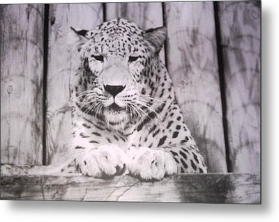 White Snow Leopard Chillin Metal Print by Belinda Lee