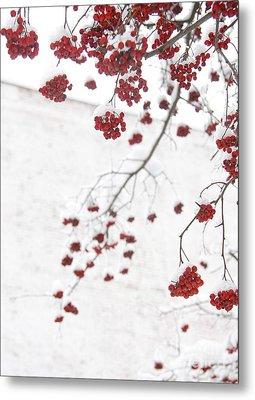 Snowy Hawthorn Berries  Metal Print