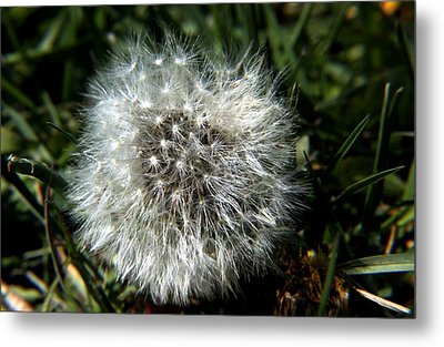 Metal Print featuring the photograph Sparkler - Dandelion Flower by Ramabhadran Thirupattur