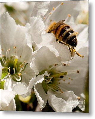 Spring Time Cherry Blossoms Metal Print by Artist and Photographer Laura Wrede