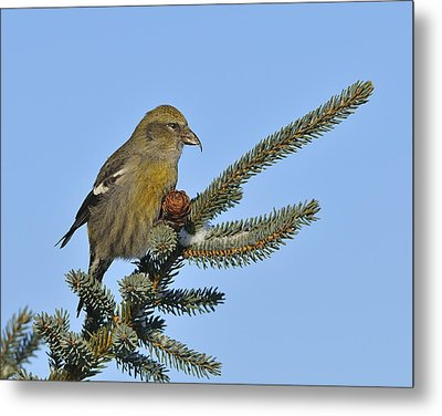 Spruce Cone Feeder Metal Print by Tony Beck