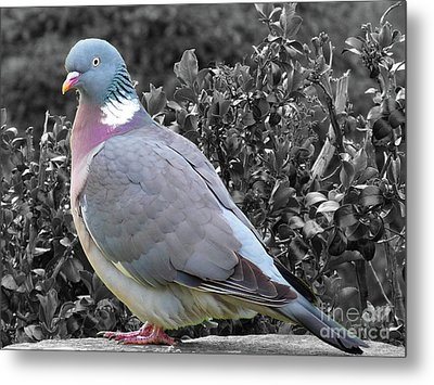 St. Andrews Pigeon Metal Print by Deborah Smolinske