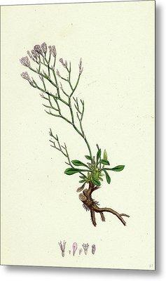Statice Caspia Matted Sea-lavender Metal Print