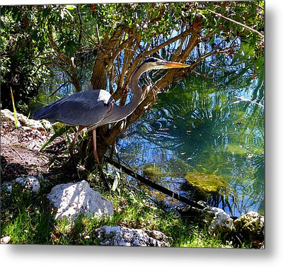Stealthy Great Blue Heron Metal Print by Judy Wanamaker
