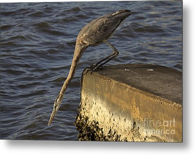 Metal Print featuring the photograph Stretch - Great Blue Heron by Meg Rousher