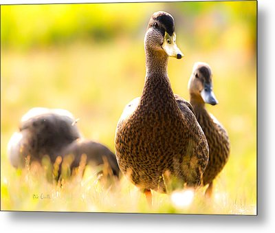 Summer Ducks Metal Print