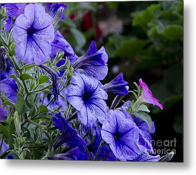 Metal Print featuring the photograph Summer Petunias by Wilma  Birdwell