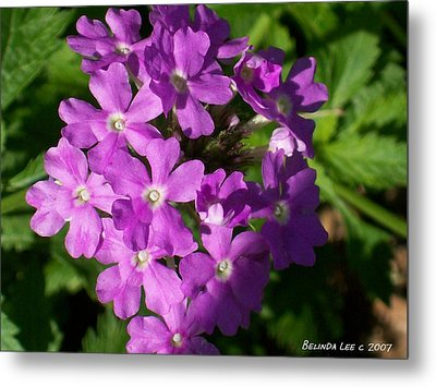 Summer Phlox Metal Print by Belinda Lee