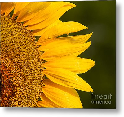 Metal Print featuring the photograph Sunflower Dew by Dale Nelson