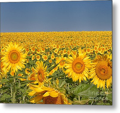 Metal Print featuring the photograph Sunflower Field by Dale Nelson