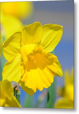 Sunny Days Of The Daffodil Metal Print by Maria Urso