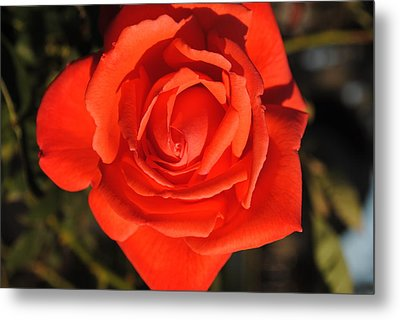 Sunset Rose Metal Print by Robert  Moss