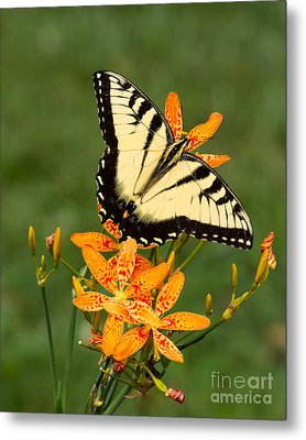 Metal Print featuring the photograph Swallowtail Delight by Dale Nelson