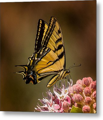 Swallowtail On Milkweed Metal Print by Janis Knight