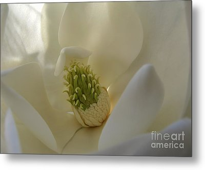 Sweet Magnolia Metal Print by Peggy Hughes