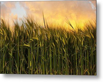 Tall Wheat Metal Print by Svetlana Sewell