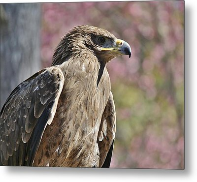 Tawny Eagle Amongst The Cherry Blossoms Metal Print by Paulette Thomas