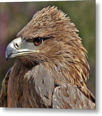 Tawny Eagle Up Close Metal Print by Paulette Thomas