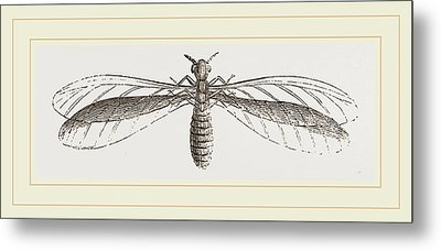 Termes Bellicosus In Winged State Metal Print by Litz Collection